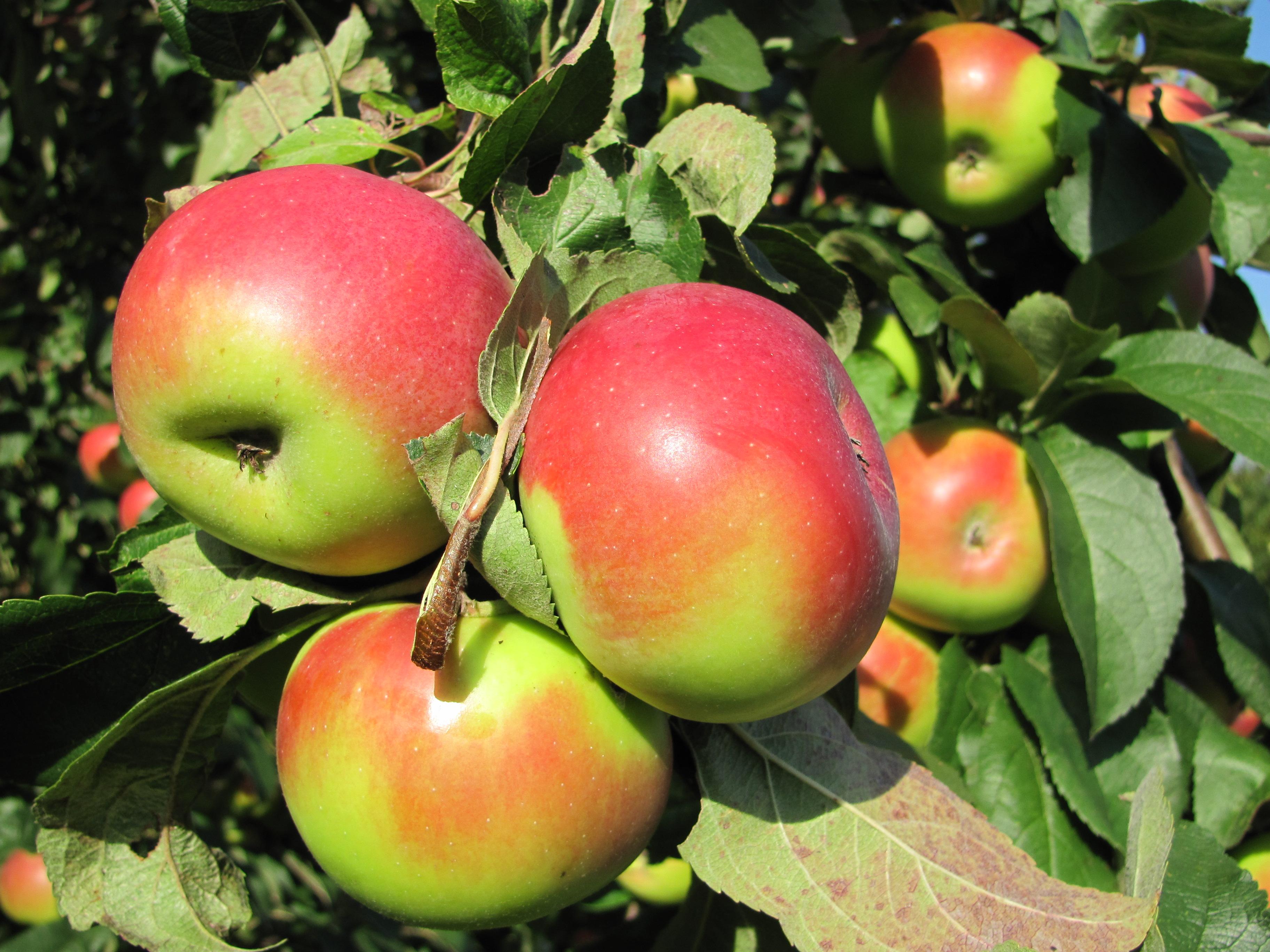 Apfelbaumfoto